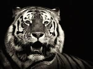 Badematte Schwarz Weiß : portrait eines freundes tigerportrait tiere view fotocommunity ~ Markanthonyermac.com Haus und Dekorationen