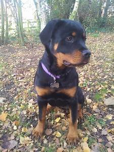6 month female chunky Rottweiler puppy. | Southend On Sea ...