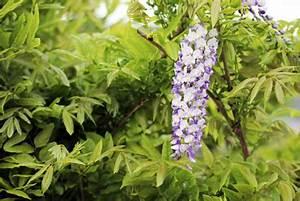 Kirschlorbeer Ungiftige Sorte : winterharte schnellwachsende kletterpflanzen 20 sorten ~ Orissabook.com Haus und Dekorationen