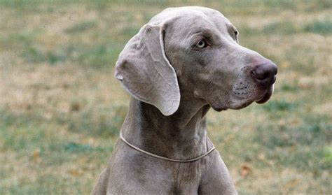 dogs that dont shed weimaraner weimaraner breed information
