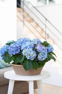 Hortensie Als Zimmerpflanze : hortensie zimmerpflanze des monats april baltus ~ Lizthompson.info Haus und Dekorationen