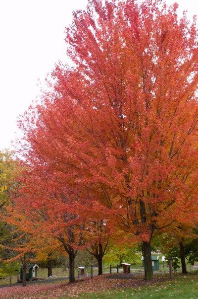 maple autumn blaze acer  freemanii jeffersred
