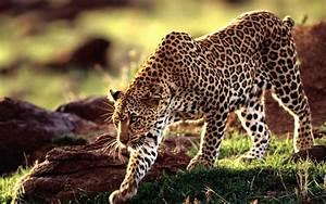 Leopard Wallpaper Designs 8119