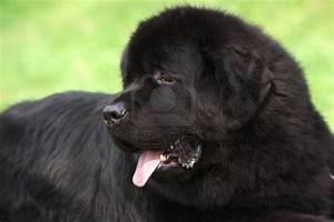 Big Fluffy Black Dog Displaying 19 Images For Large Breed ...