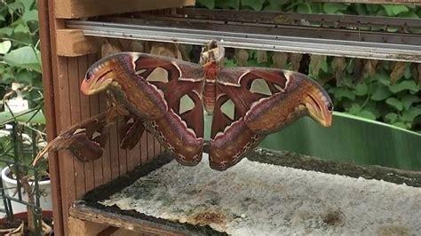 de grootste vlinder ter wereld youtube