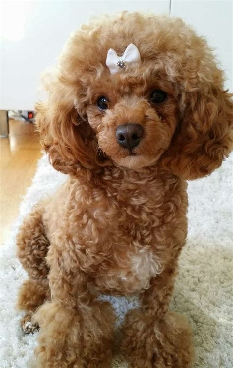 toy poodle haircuts  dress  dog clothes