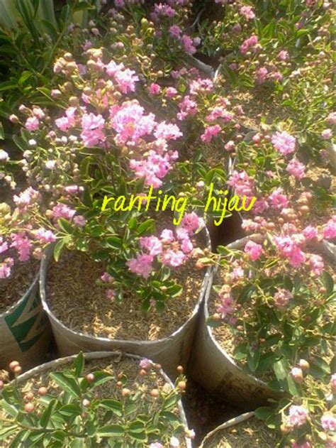 jual bibit bunga sakura mikro  lapak ranting hijau