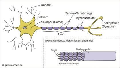 gehirn und lernen die einzelne nervenzelle und wie sie