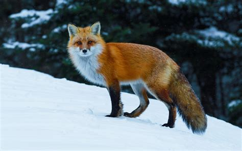 Fox Animal Wallpaper - animals nature fox wildlife snow wallpapers hd