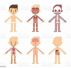 Anatomy Chart For Kids Stock Vector Art  U0026 More Images Of