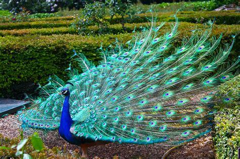 colorful peacock colorful peacocks farmerama en