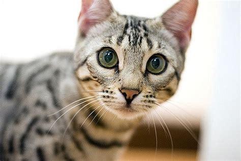 gato bengal um gato diferente ronronar