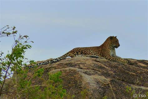 Cincin Leopard 1021 yala nationalpark sri lanka fotogalerie fotos bilder