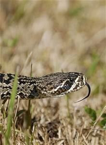 Eastern Diamondback Rattlesnake Head | www.pixshark.com ...