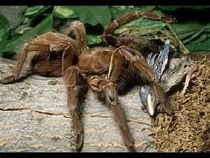 Giant Spider Eating Bird - YouTube
