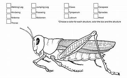 Grasshopper External Anatomy Coloring Grashopper Biology Worksheets