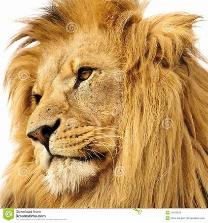 Lion Portrait Dreamstime Background Isolated