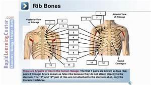 The Skeletal System- Axial Skeleton
