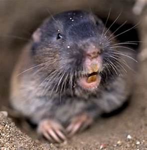 List of Ways on How to Kill or Get Rid of Pocket Gophers ...