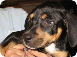 Black And Tan Coonhound Beagle Mix Pictures to Pin on ...
