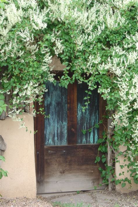 fast growing fence cover fallopia aubertii silver lace vine ナツユキカヅラ one of my favorites super cover up an ugly wall or