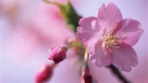 Blumen Im Frühling : hd hintergrundbilder bl tenbl tter knospen bl ten rosa blumen fr hling desktop hintergrund ~ Orissabook.com Haus und Dekorationen