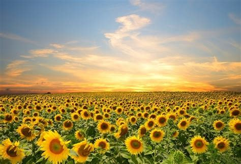 laeacco cloudy sky sunflower field landscape photography