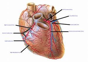 Coronary Arteries And Vein