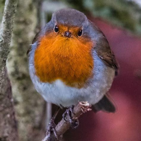pin  robin