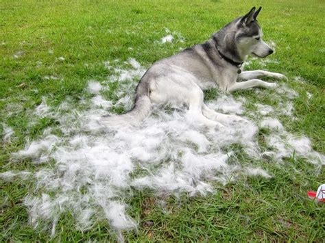 what season do dogs shed the most how coated owners deal with coat