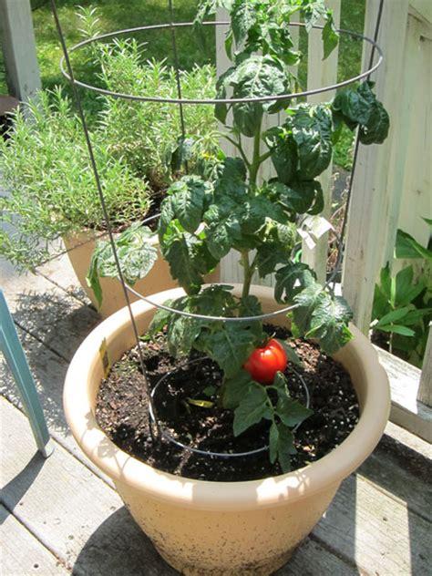 patio tomato planter patio tomato photos and information