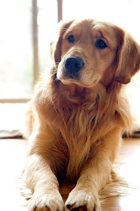 Heavy Shedding Dogs by Top 10 Heavy Shedding Dogs Inside Dogs World