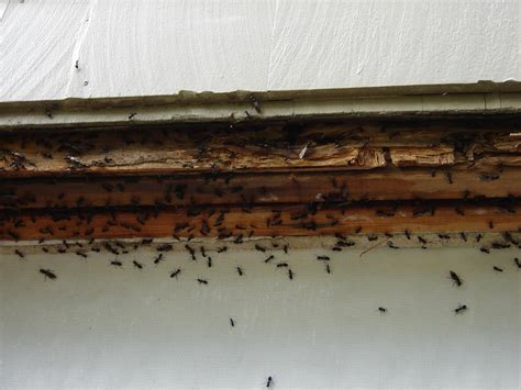 Flying Ants In Bathroom Window by Carpenter Ants And Termites Carpentry Contractor Talk