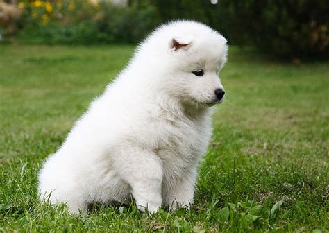 What Is A Samoyed Natural History