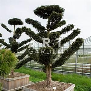 Arbre En Nuage : taxus baccata dovastioniana arbre et plante original r sistant pour jardin ~ Melissatoandfro.com Idées de Décoration