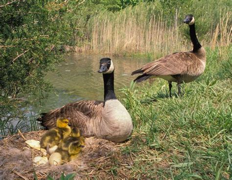 canada goose mdc discover nature
