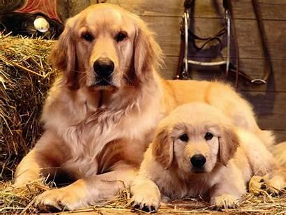 Retriever Golden Puppy Dog Dogs Puppies Retrievers