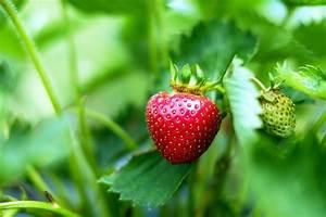 Erdbeeren Pflanzen Die Wichtigsten Tipps : erdbeeren pflanzen die sieben wichtigsten tipps und tricks ~ Lizthompson.info Haus und Dekorationen