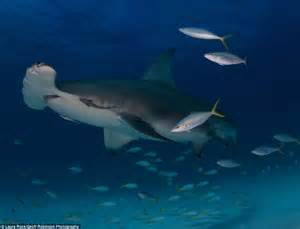 fish ocean sea shark under floor giant hammerhead octopus di sharks goliath grouper spectacular revealed living mokarran sphyrna martillo tiburon