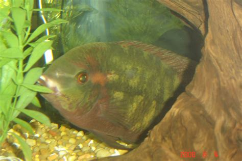 Cichlidscom Chocolate Cichlid Year Old With Bloat And