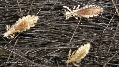 Almost a million Tinder users are infected with pubic LICE ...