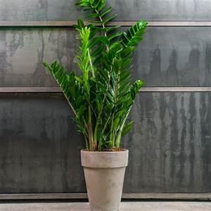 Pflegeleichte Zimmerpflanzen Mit Blüten : pflegeleichte zimmerpflanzen die zamie bringt gl ck ins haus ~ Eleganceandgraceweddings.com Haus und Dekorationen