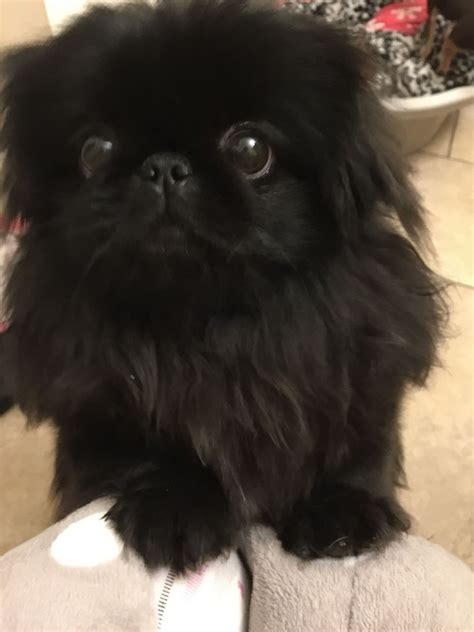 pekingese female black mexborough south yorkshire