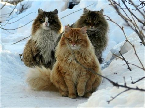 Siberian Farmer's Cats Become An Unexpected Internet Sensation