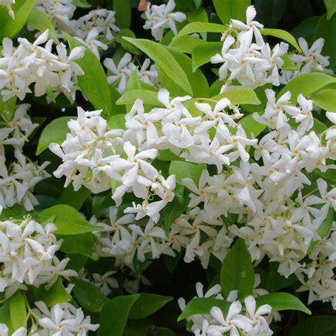Star Jasmine  Trachelospermum Jasminoides Confederate