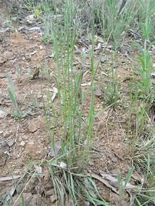 Grasses  Family Poaceae