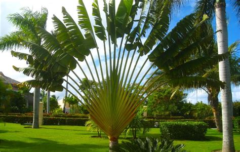 travelers palm ravenala madagascariensis