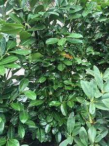 Kirschlorbeer Wann Pflanzen : kirschlorbeer bekommt gelbe bl tter m ssen wir was ~ Lizthompson.info Haus und Dekorationen