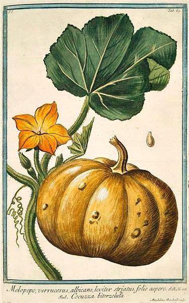giorgio bonelli squash  blossom   botanical