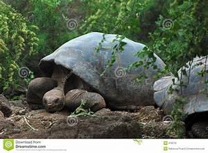 Galapagos Tortoise Royalty Free Stock Image Image 476276